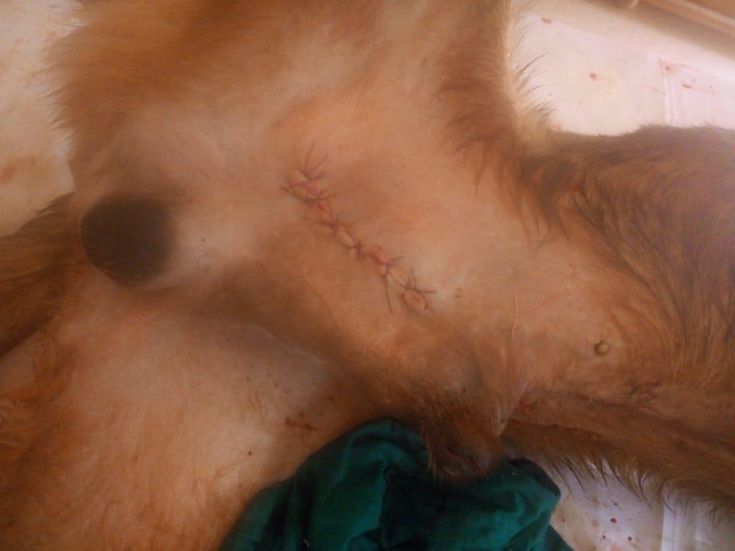 179-marron-sterilisee-et-operee-sarcome-de-sticker