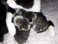 die-3-Kleinsten-mutterlosen-Kitten-bei-Pflegemami-Sophie